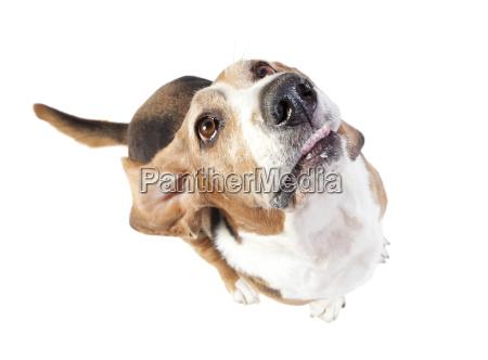 basset hound looks up exposed