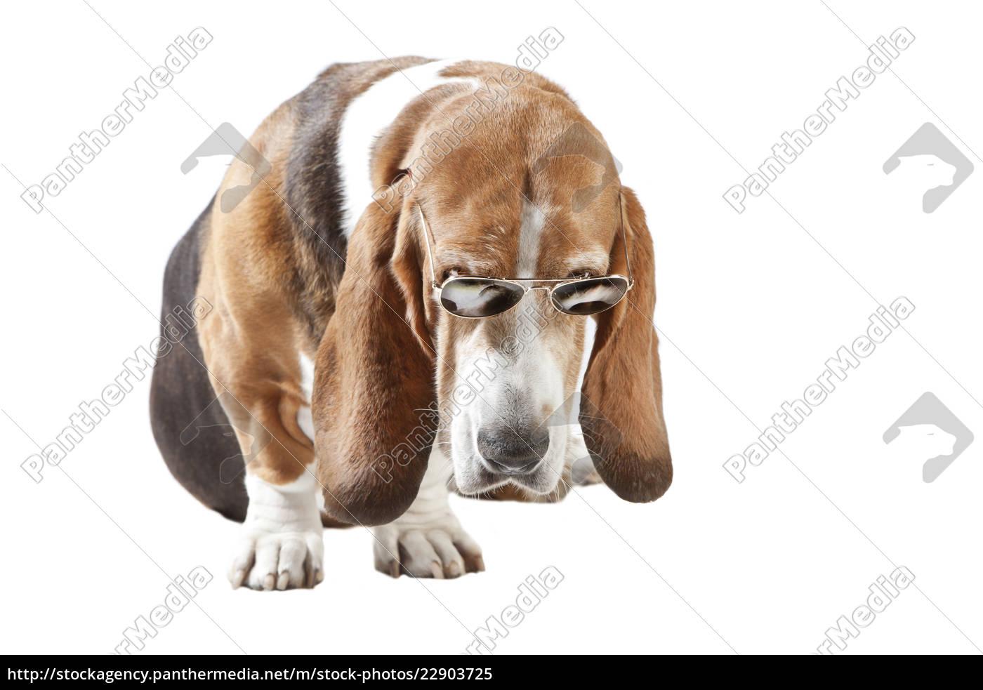 basset, hound, sonnenbrille, freigestellt - 22903725
