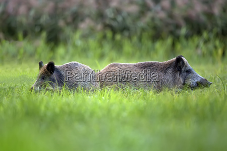 wild boars in the grass