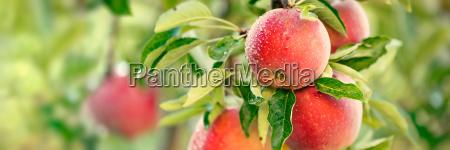 apfelbaum mit roten aepfeln