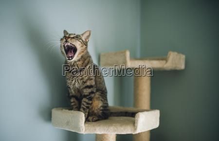 portraet der gaehnenden katze sitzend auf