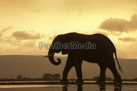 afrikanischer elefant loxodonta africana stier an