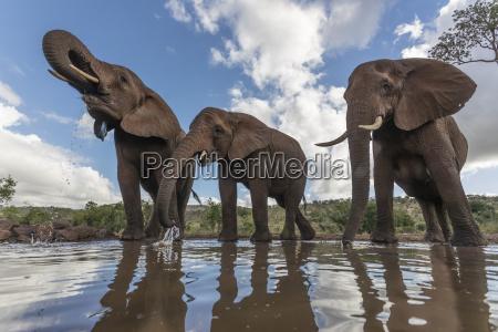trinkende elefanten loxodonta africana privater spiel