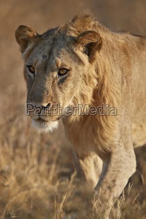 fahrt reisen farbe nationalpark afrika loewe