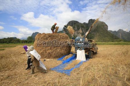 rice field lao farmers harvesting rice