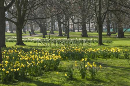daffodils st james park london england