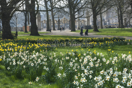 daffodills and narcissus canada gate to