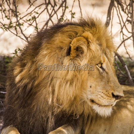 wild afrika maennlich mannhaft maskulin viril