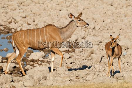 kudu and impala antelopes at a