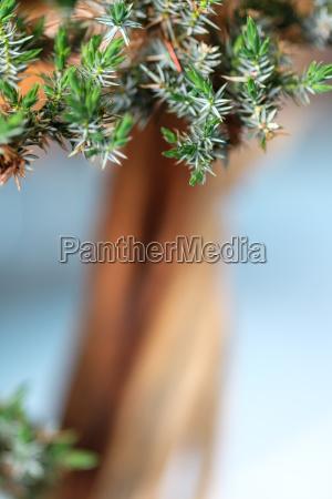 gruene nadeln wacholder bonsai baum im