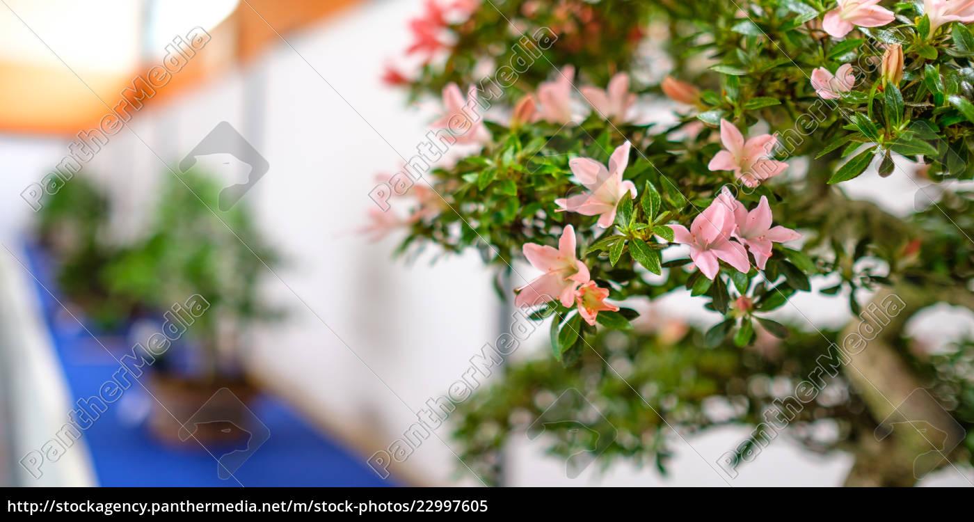 rosa bl ten azaleen bonsai baum rhododenddron. Black Bedroom Furniture Sets. Home Design Ideas