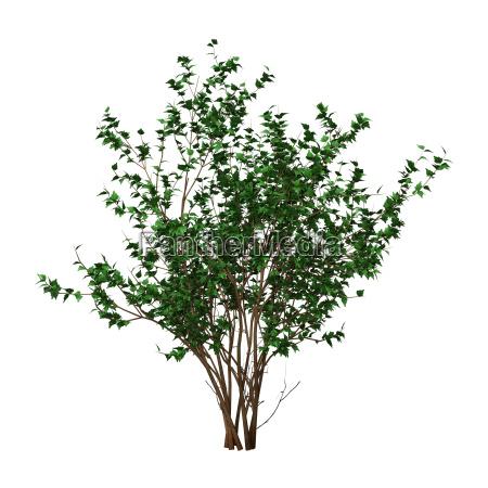 hibiscus bush der wiedergabe 3d auf