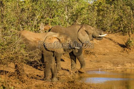 trinken trinkend trinkt afrika elefant safari