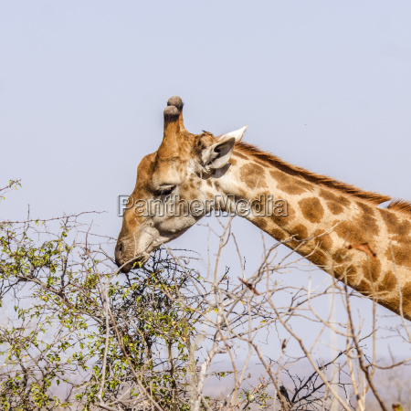afrika portrait portraet potrait sueden giraffe