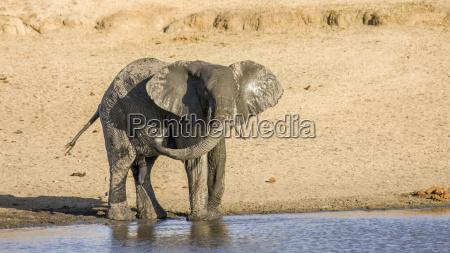 afrikanischer buschelefant der in das riverbank