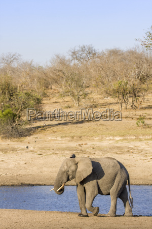 afrikanischer buschelefant im riverbank in kruger