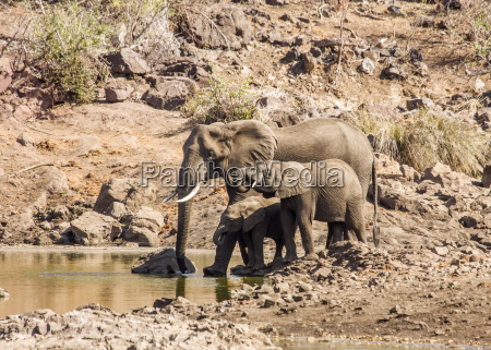 gruppe afrikanische elefanten im kruger park