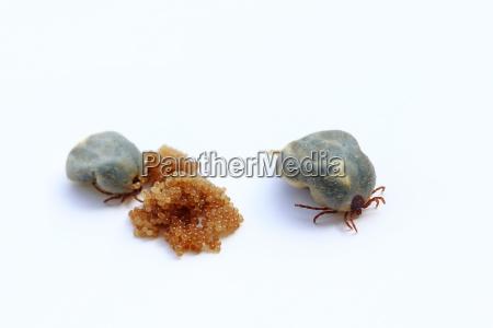 two egg laying ticks ticks lay