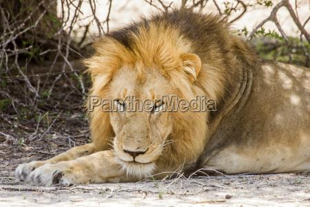afrika savanne maennlich mannhaft maskulin viril