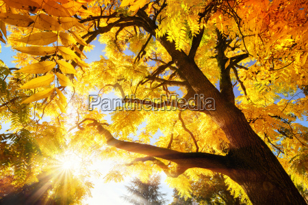tree with bright yellow autumn leaves