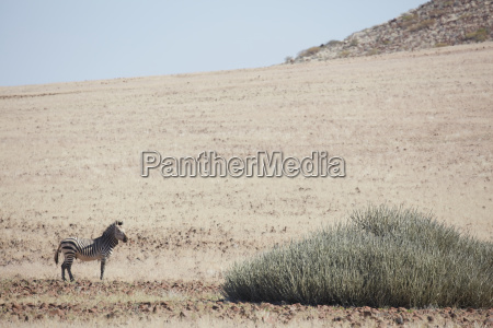 tier saeugetier afrika namibia horizontal outdoor