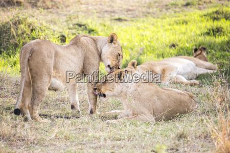 kenia loewe katze raubkatze grosskatze horizontal