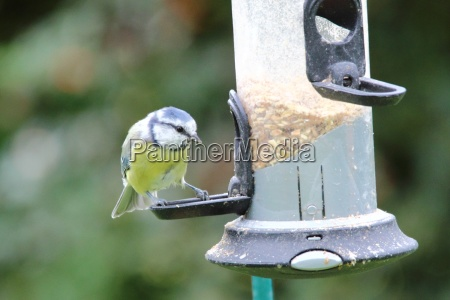 a blue tit visits the feeding