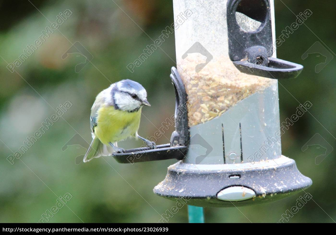 a, blue, tit, visits, the, feeding - 23026939