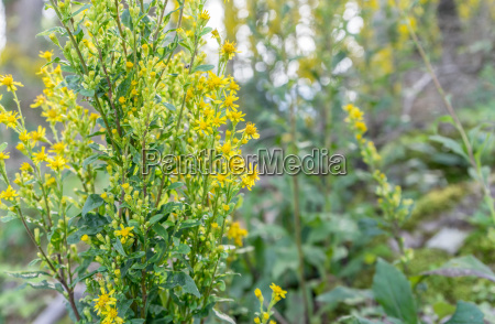 yellow flowering goldenrod in a wood