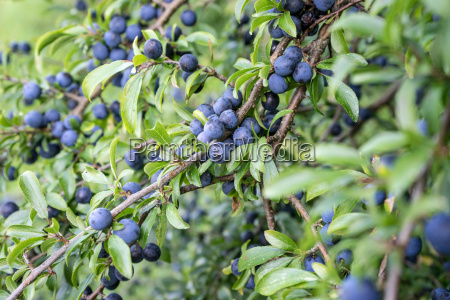 blackthorn shrub with ripe fruits