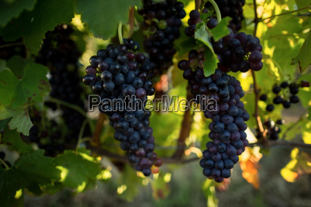 close up of grapes hanging on