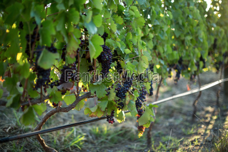 close up of grapes growing on