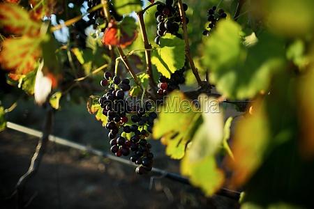 grapes growing on plants at vineyard