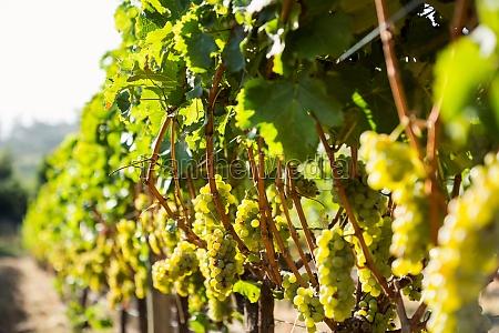 grapes growing at vineyard