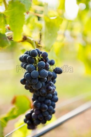 close up of grapes growing