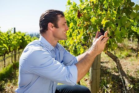 vintner examining grapes in vineyard