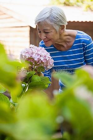 laechelnde aeltere frau die rosa hydrangeabuendel
