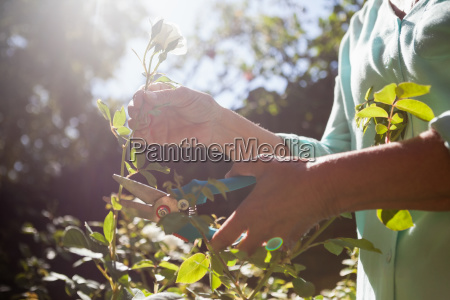 midsection of senior woman cutting flower