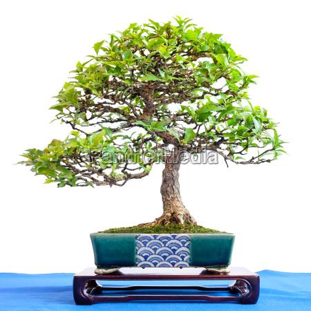 duftahorn premna japonica als kleiner bonsai