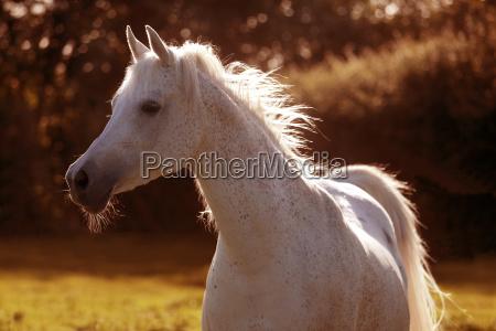 araber pferd im sonnenlicht