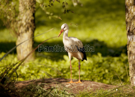 stork with ring on the leg