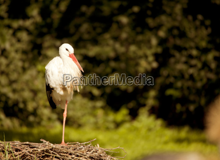 white stork sits in the nest