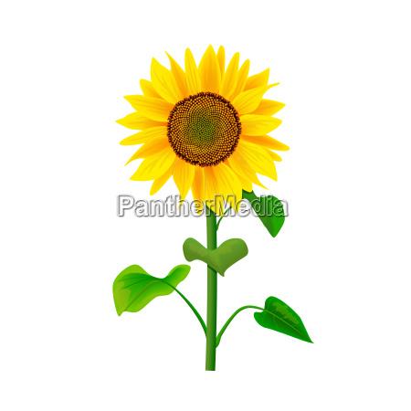sonnenblumenblume oder helianthus lokalisiert mit stamm