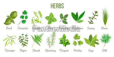 big set of realistic culinary herbs