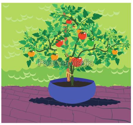 paradeiser tomate pflanze gewaechs klassiker