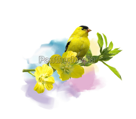 american goldfinch watercolor
