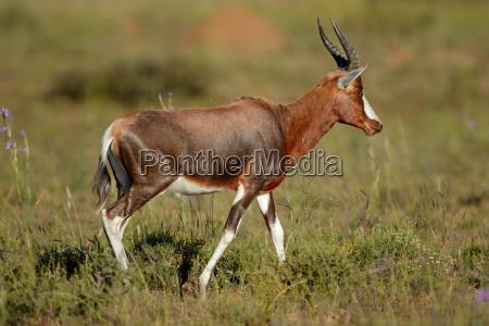 blesbok antelope in natural habitat