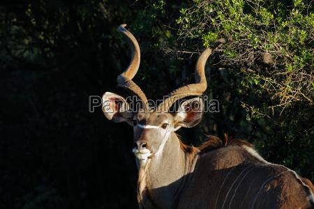 kudu antilope portraet