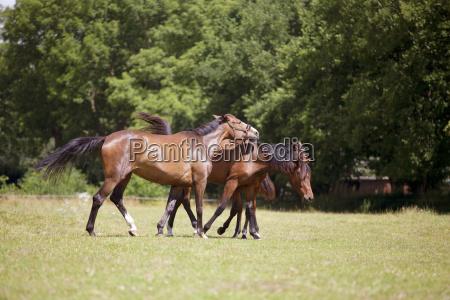 pferd droht auf weide