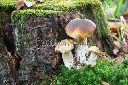 boletus mushroom in the forest